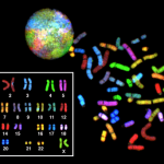 Spectral karyotype of a human female